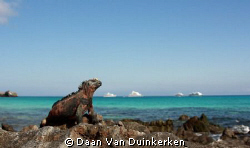 Marine Iguana basking in the sun by Daan Van Duinkerken 